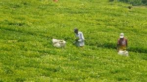Tea plantation - kenya, workers picking tea