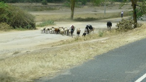 Kenyan sheep by the road