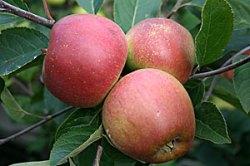 apple-Laxton's-Superb'
