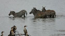 zebra in water, lake nakuru (2)