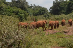 Orphaned elephants at the David Sheldrick Centre in Nairobi