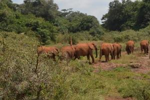 Orphaned elephants at the David Sheldrick Centre in Nairobi