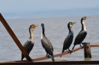 Lake victoria, group of cormorants sitting on a piece of wood