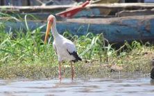 Yellow billed stork wading on Lake Victoria