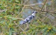 Pied Kingfisher sitting on a branch at Lake Victoria