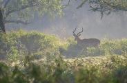 Male Gazelle in the mist