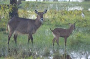 Water buck female and its baby