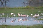 Flamingo numbers are very much reduced due to the flooding effecting their food source