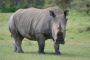 A black rhino wandering a few feet away from us