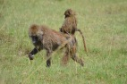 Baboon carrying its baby