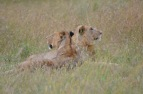 Pair of lionesses laying down a few feet from our van